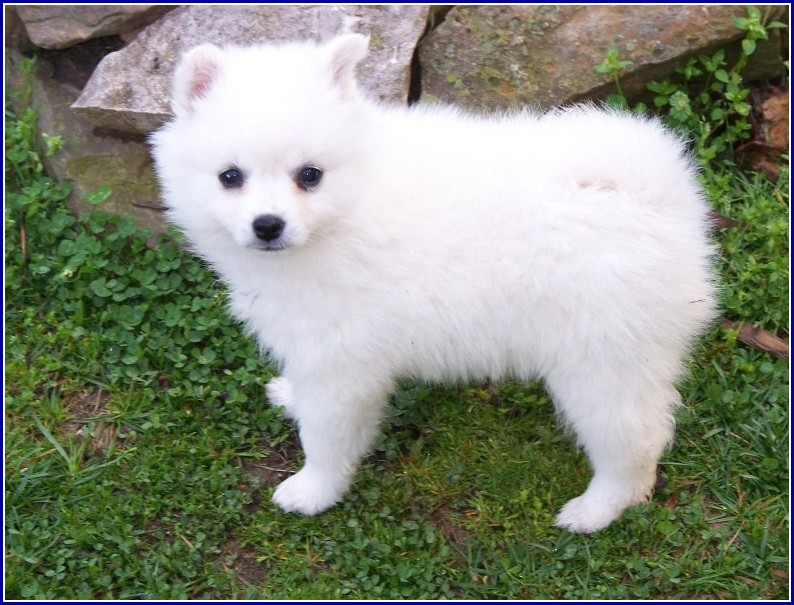 Pictures Of American Eskimo Dogs