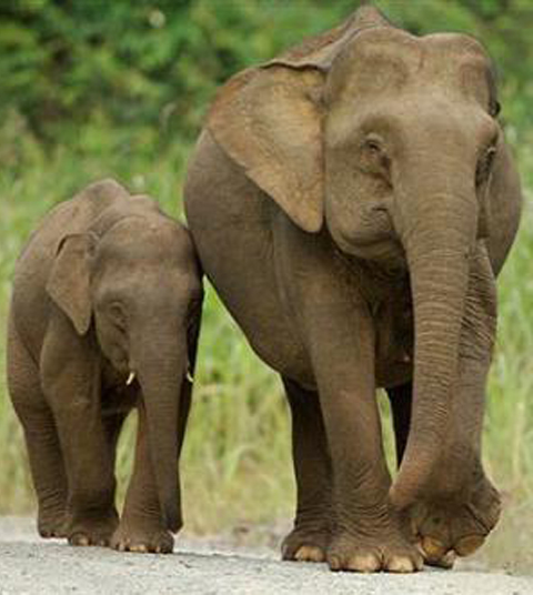 Pictures Of Elephants In India