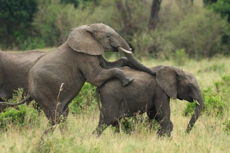 Pictures Of Elephants Mating
