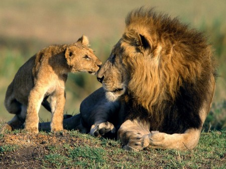 Pictures Of Lions And Lionesses