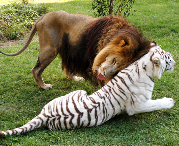 Pictures Of Lions And Tigers
