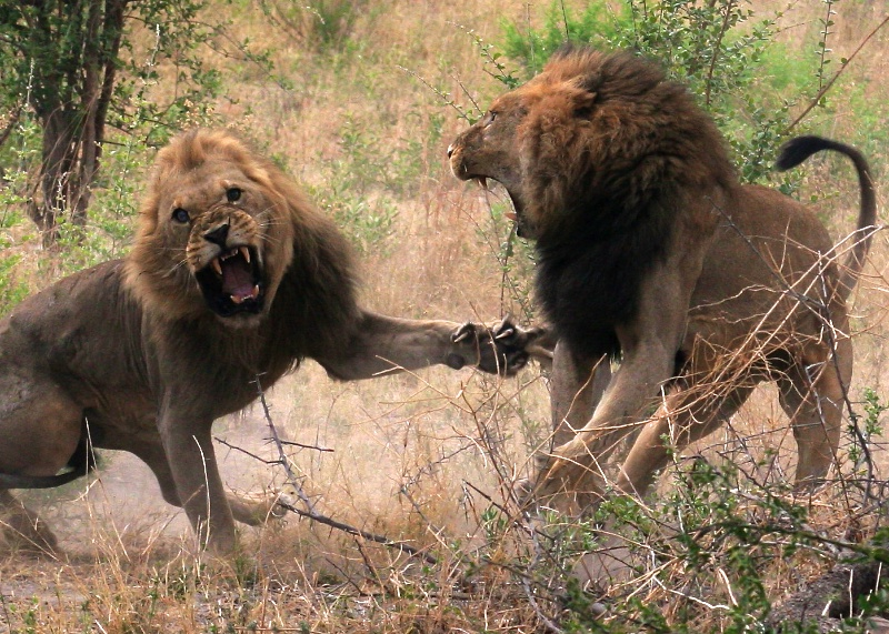 Pictures Of Lions Fighting