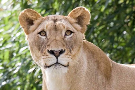 Pictures Of Lions For Kids