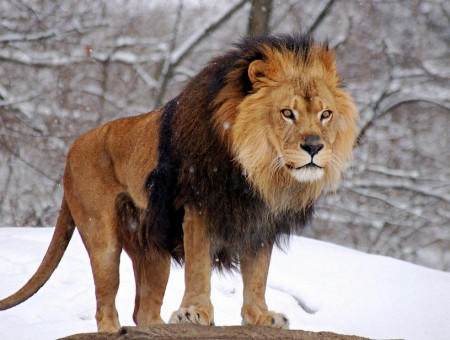 Pictures Of Lions In The Wild