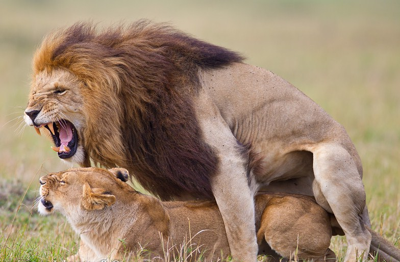 Pictures Of Lions Mating