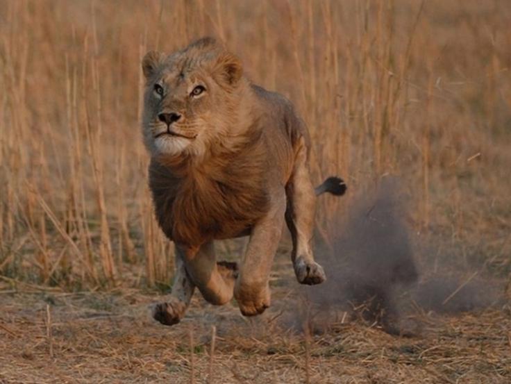 Pictures Of Lions Running