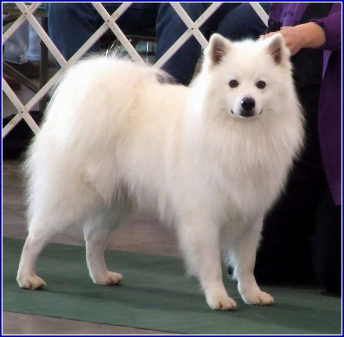 Pictures Of Miniature American Eskimo Dogs
