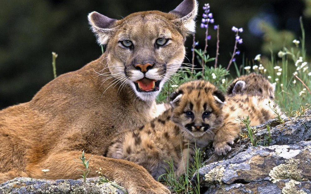 Pictures Of Mountain Lions In Texas