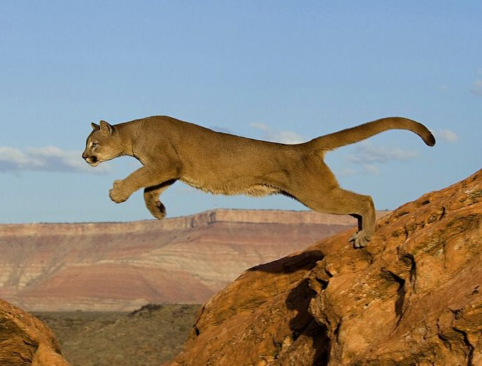 Pictures Of Mountain Lions Jumping
