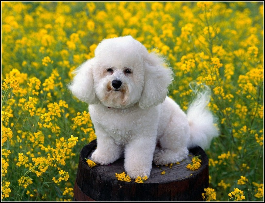 Pictures Of Small White Dogs