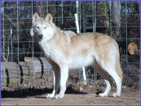 Pictures Of Wolf Hybrid Dogs