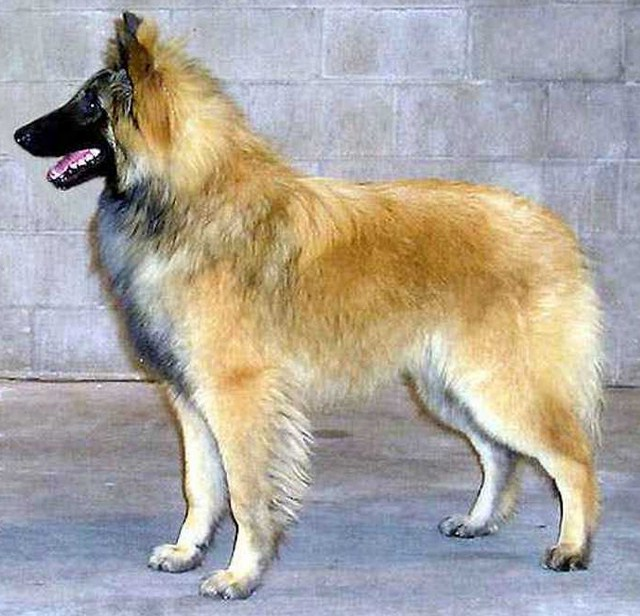 Police Dog Breeds Belgian Malinois