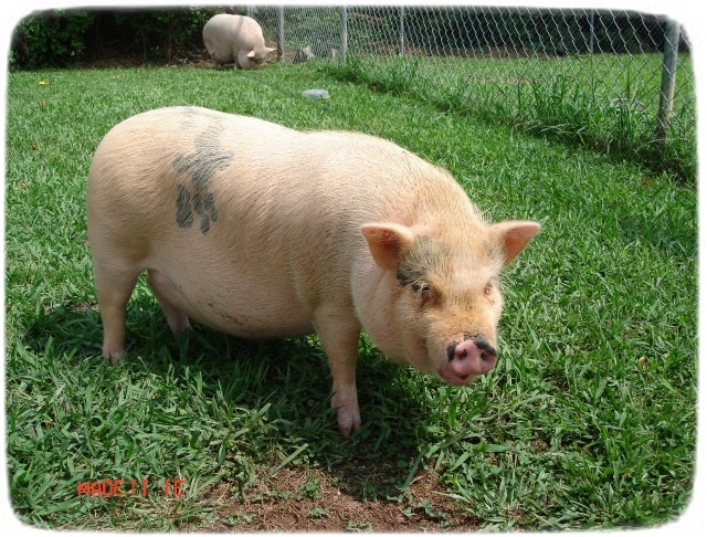 Pot Bellied Pigs As Pets