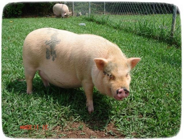 Pot Bellied Pigs As Pets