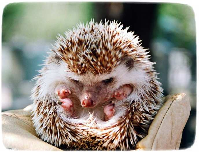 Pygmy Hedgehogs As Pets