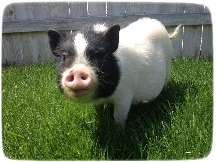 Pygmy Pigs As Pets