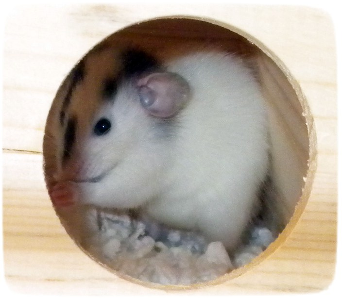 Rats As Pets Cages