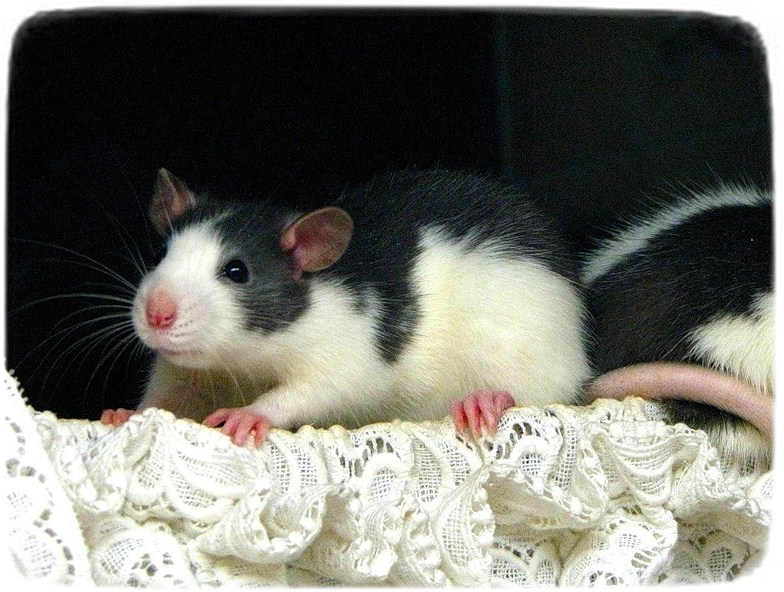 Rats As Pets For Kids