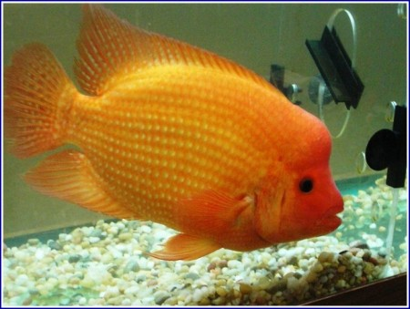 Red Devil Fish Images