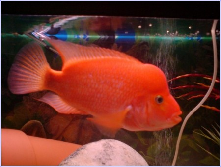 Red Devil Fish Male