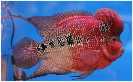 Red Devil Fish Pics