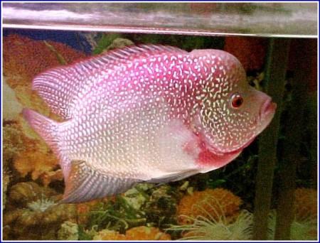 Red Devil Fish Tankmates