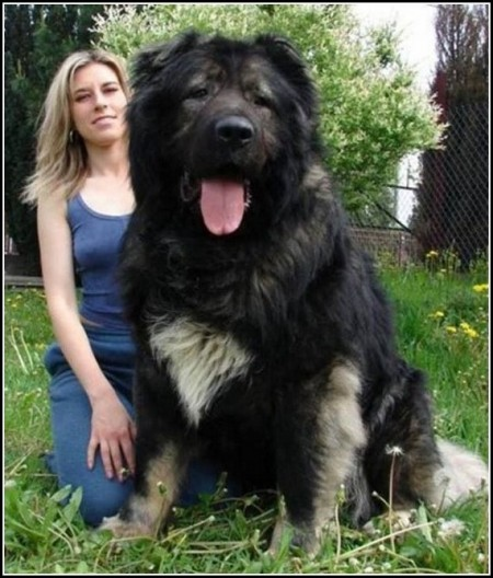 Russian Caucasian Mountain Shepherd Dog