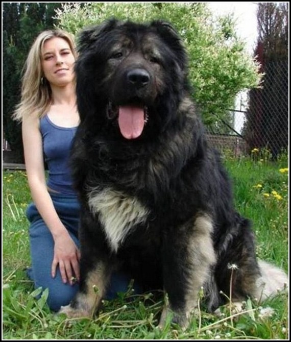 Russian Caucasian Mountain Shepherd Dogpet Photos Gallery