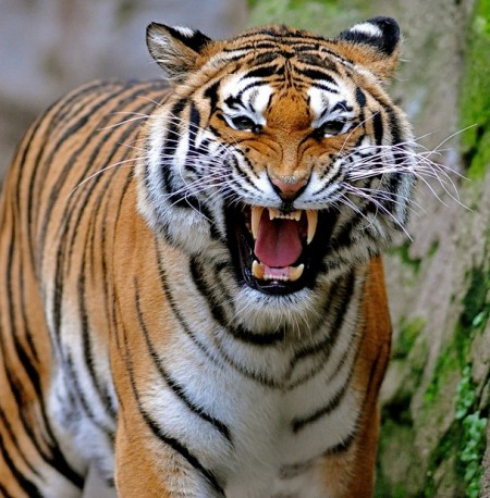 Saber Tooth Tiger Facts And Pictures