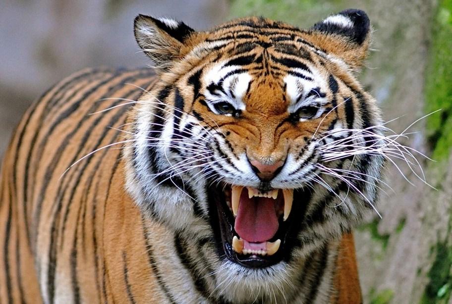 Saber Tooth Tiger Wallpaper