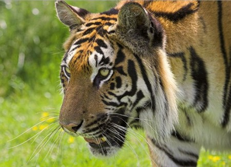 Siberian Tiger Facts For Children