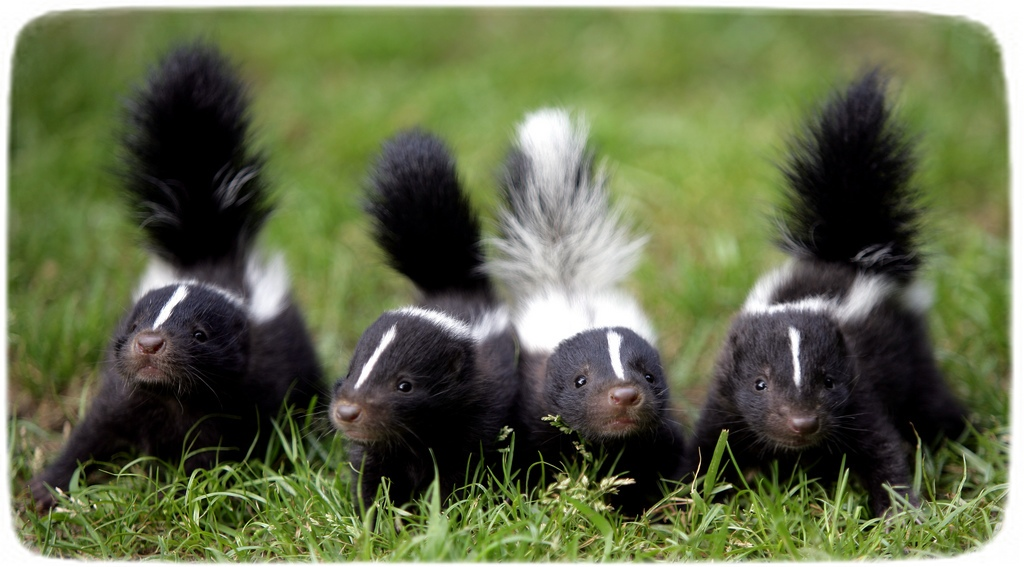 Skunks As Pets In California