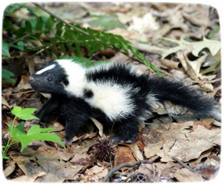 Skunks As Pets In Colorado