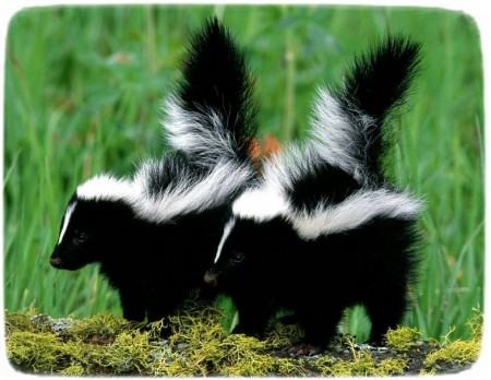 Skunks As Pets In Texas