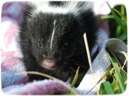 Skunks As Pets In Wisconsin