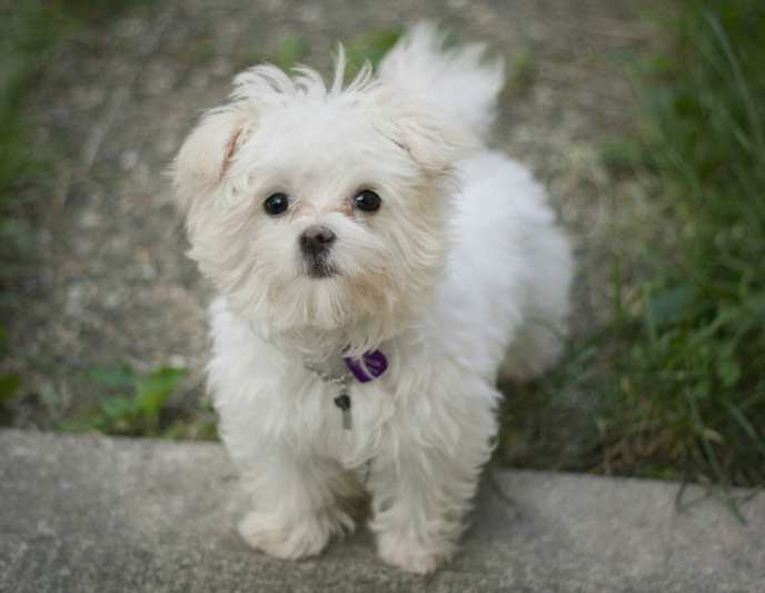 Small Dog Breeds List And Pictures