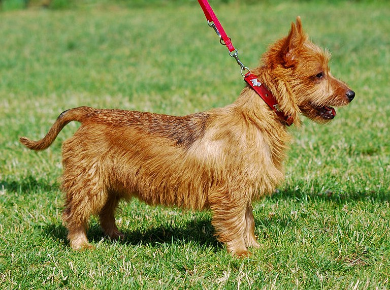 Small Dog Breeds List Nz
