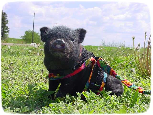 Small Pigs As Pets