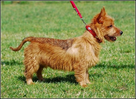Small Sized Dogs Breeds By Pictures