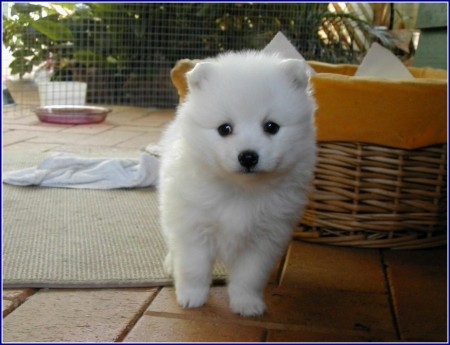 Small White Dog Breed