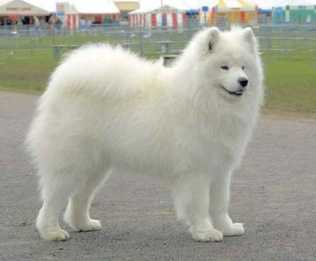 Small White Dog Breeds Fluffy