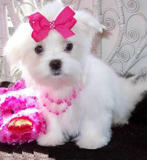 Small White Dog Breeds Maltese