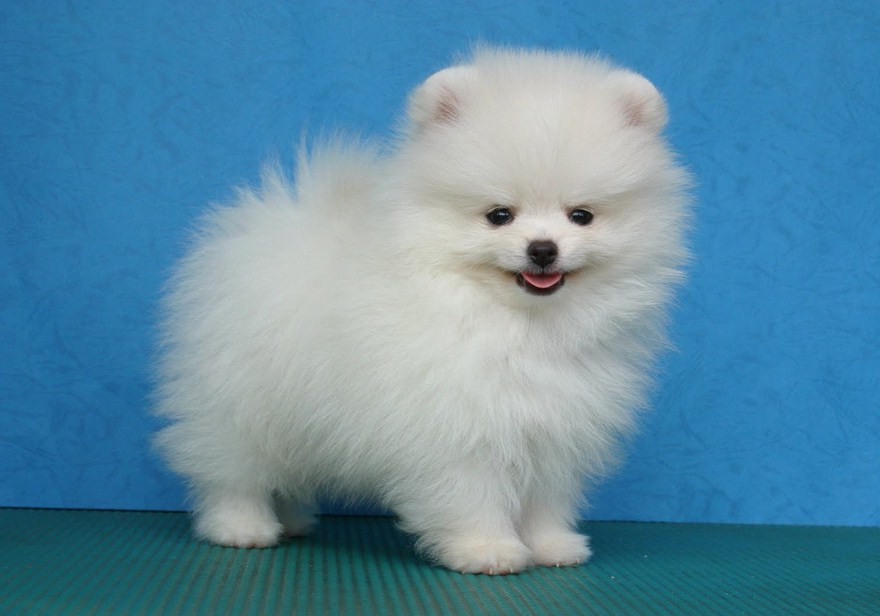Small White Dog Breeds Short Hair