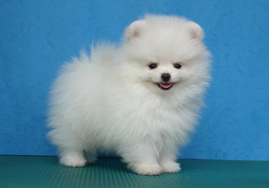 Small White Dog Breeds Short Hair