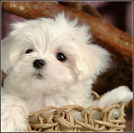Small White Dogs With Curly Hair