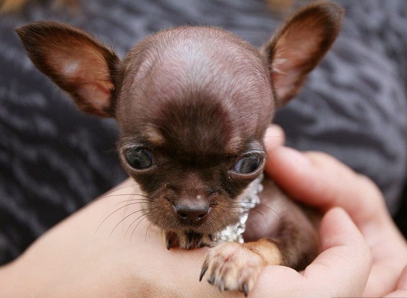 Smallest Dog Breed In The World 2012