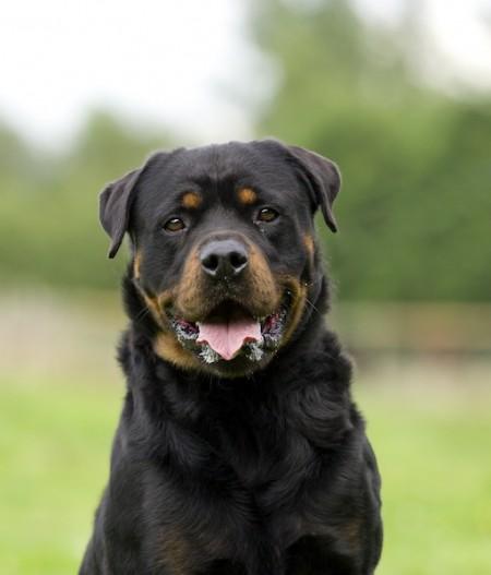 Smartest Breed Of Dog Top 100