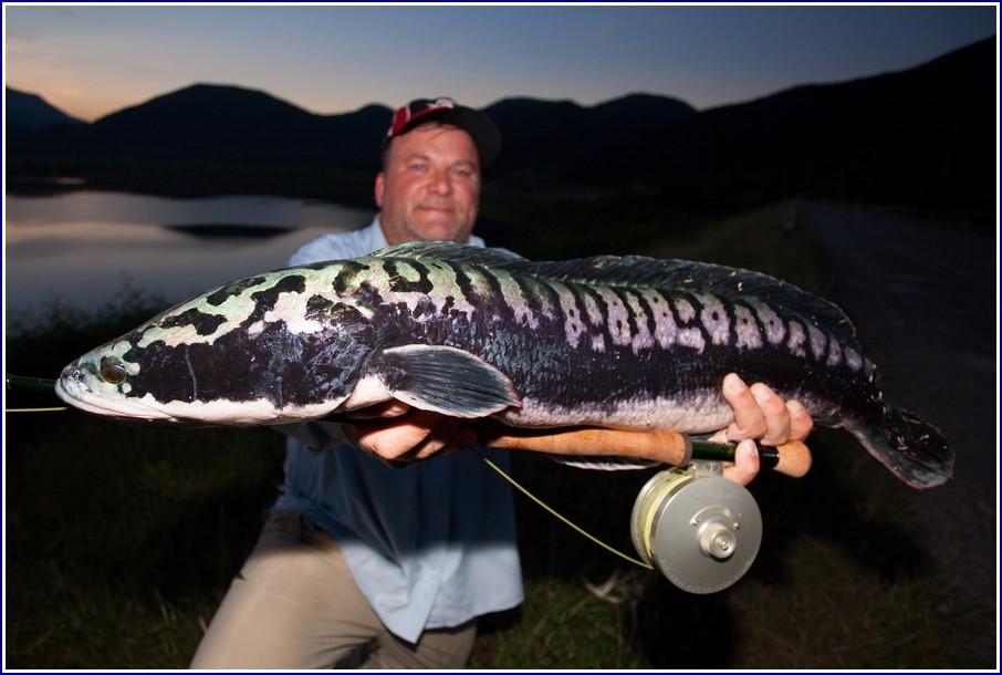 Snake Head Fish Pic