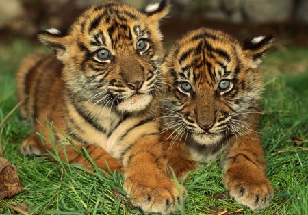 South China Tiger Cubs