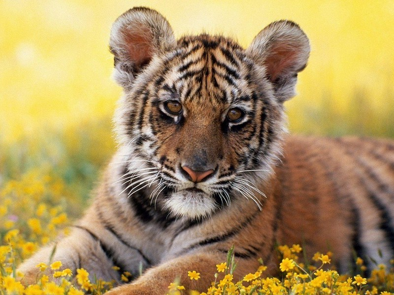 South China Tiger Images